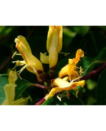 Lonicera trichosantha - Chèvrefeuilles