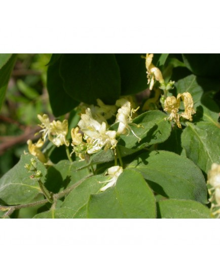 Lonicera xylosteoides x 'Clavey's Dwarf' - Chèvrefeuille