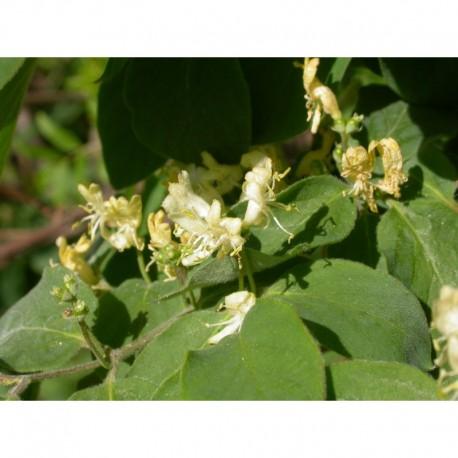 Lonicera xylosteoides x 'Clavey's Dwarf' - Chèvrefeuille