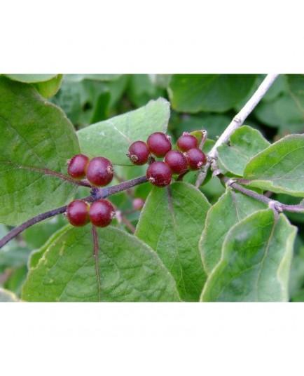 Lonicera xylosteum var mollis - chèvrefeuille des bois