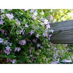 Plantes grimpantes hors chèvrefeuilles