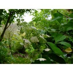 Arbustes peu calcitolérants
