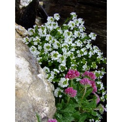 Plantes alpines et de rocailles