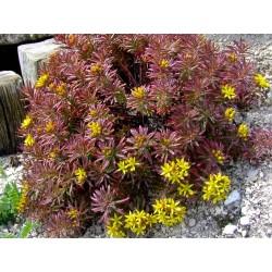 Autres plantes alpines et de rocailles