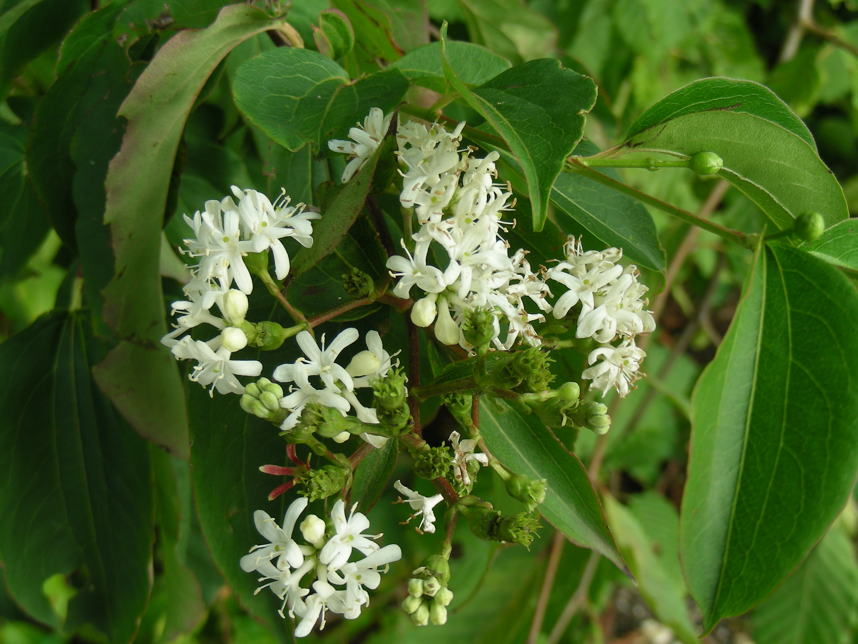Heptacodium jasminoides.JPG
