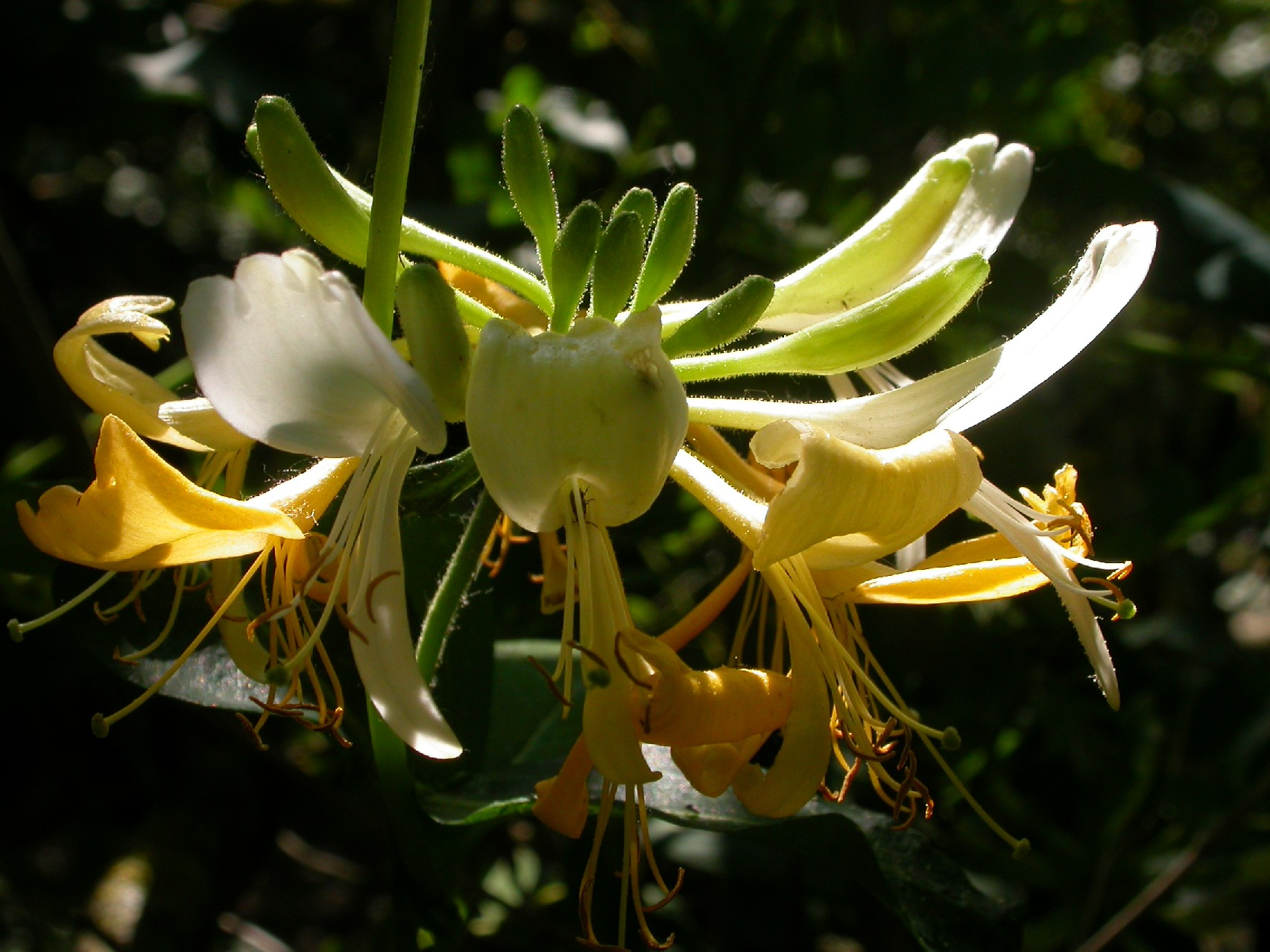 lonicera graham thomas.jpg