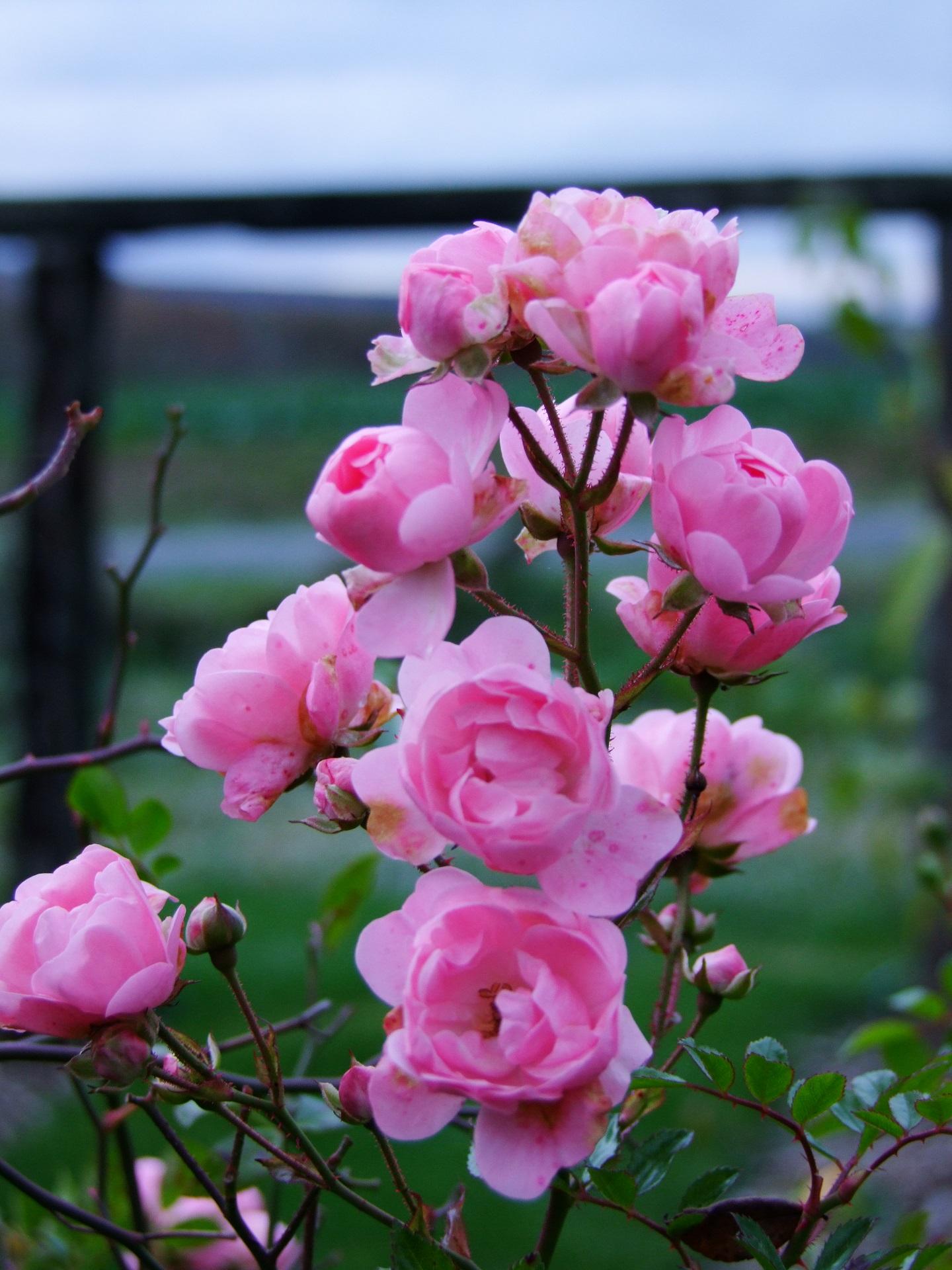 Rosa Beauty Fairy.jpg