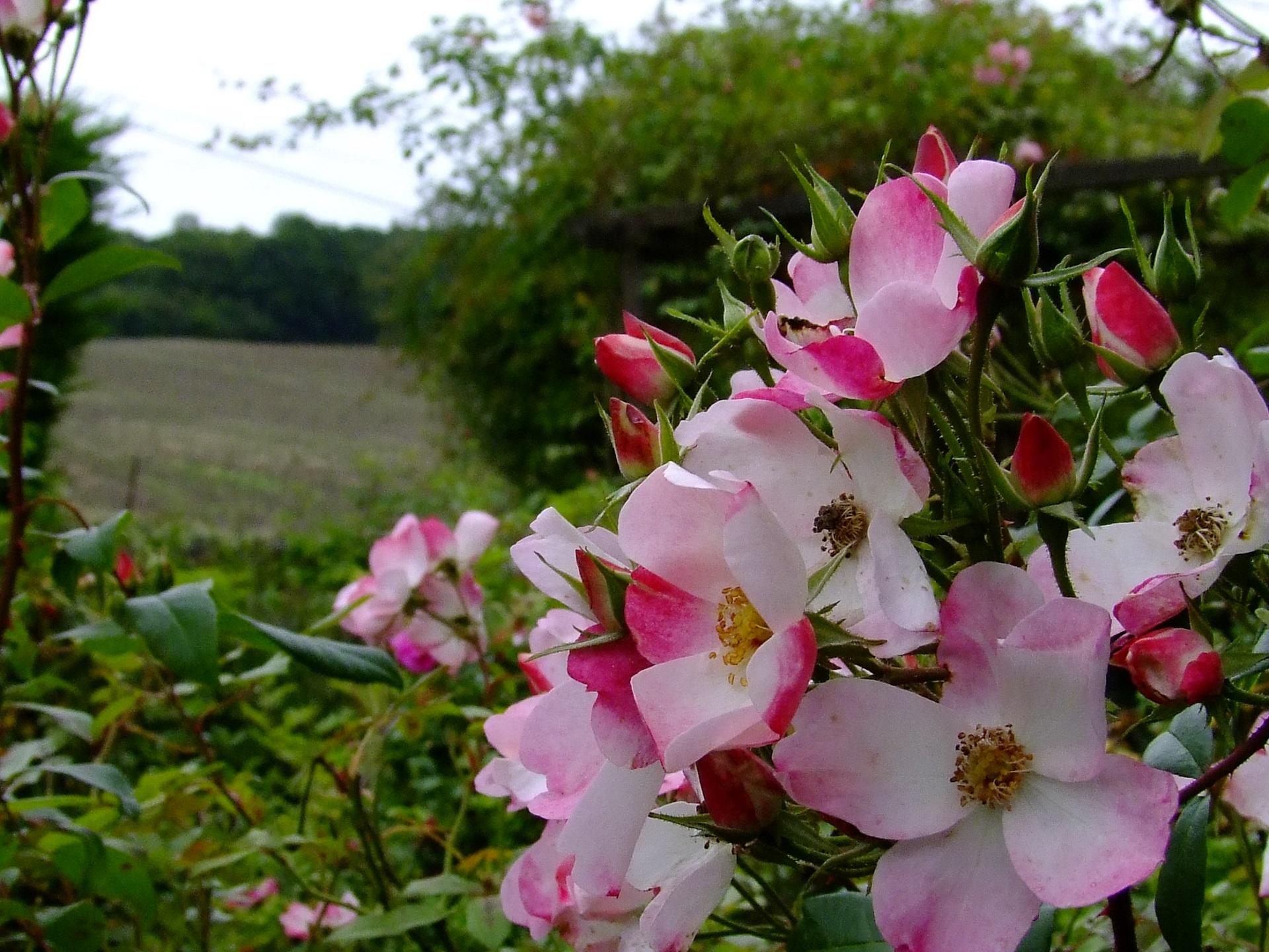 Rosa Rush 1.JPG