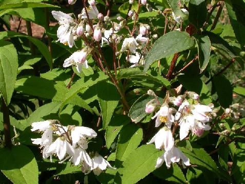 Deutzia rosea Venusta.JPG