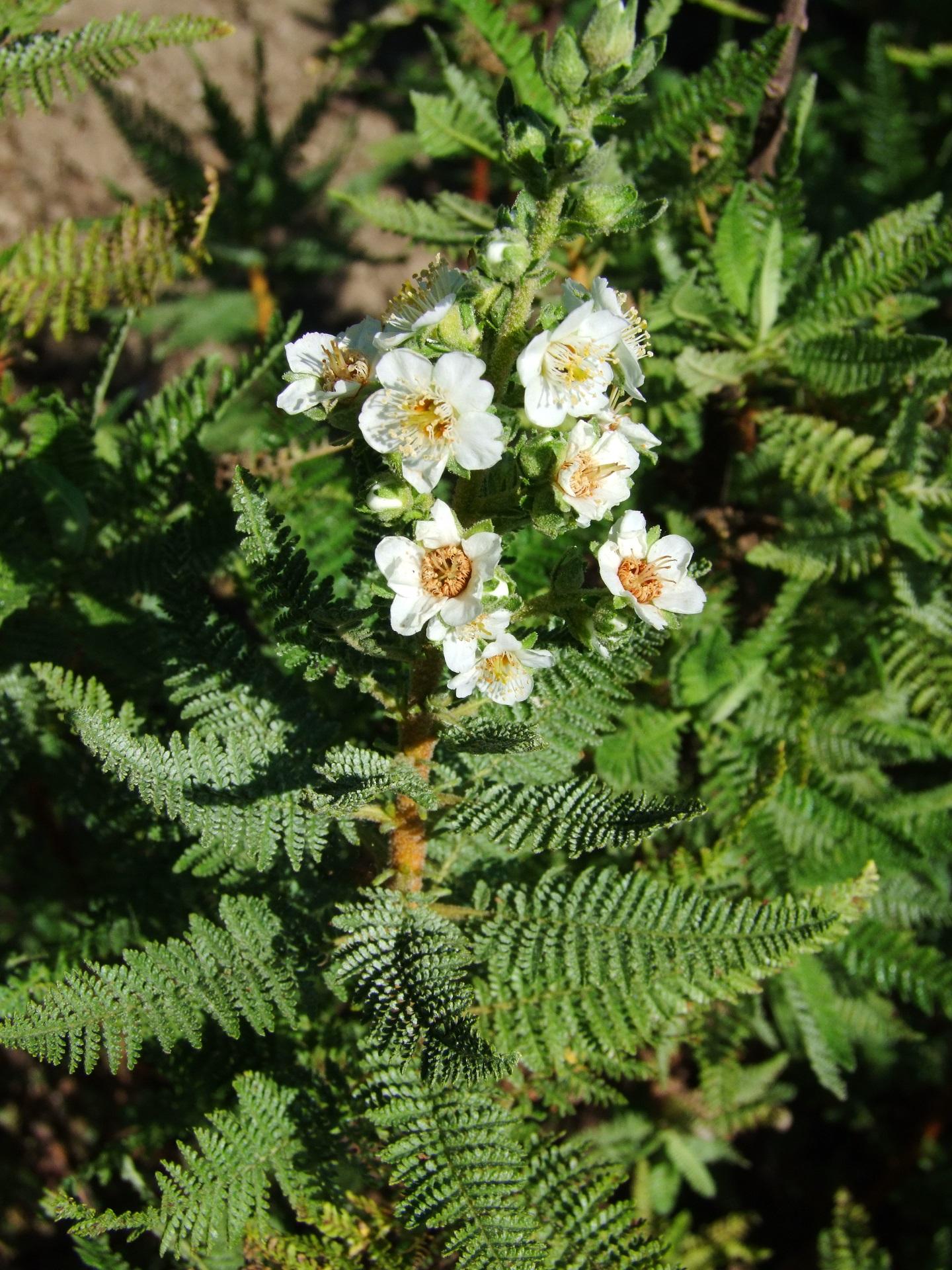 Chamaebattaria millefolium.jpg