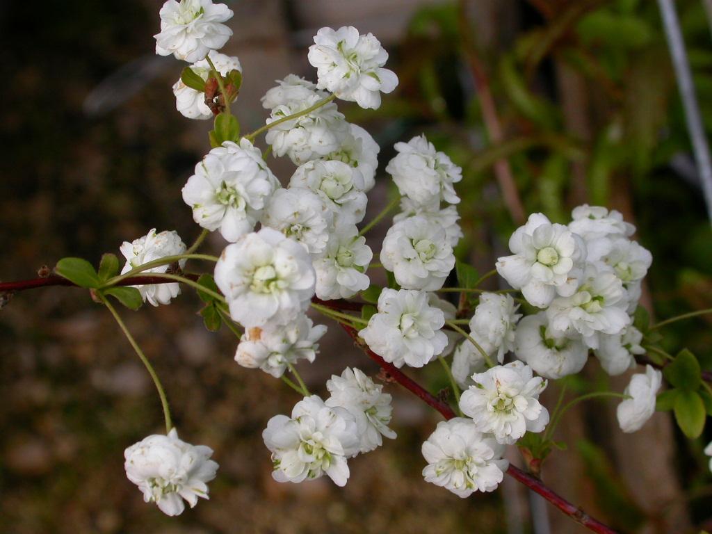 spiraea%20prunifolia%20plena1.jpg