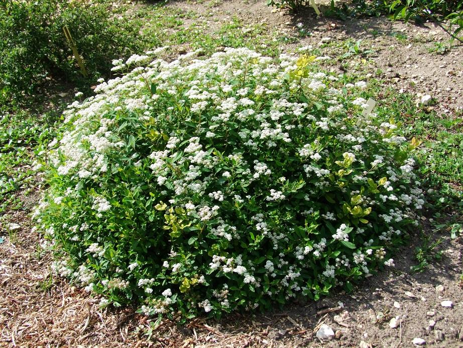 spiraealancifolia2.jpg