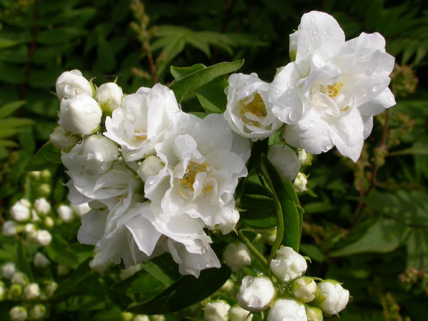 Philadelphus Bouquet blanc A6 d.JPG