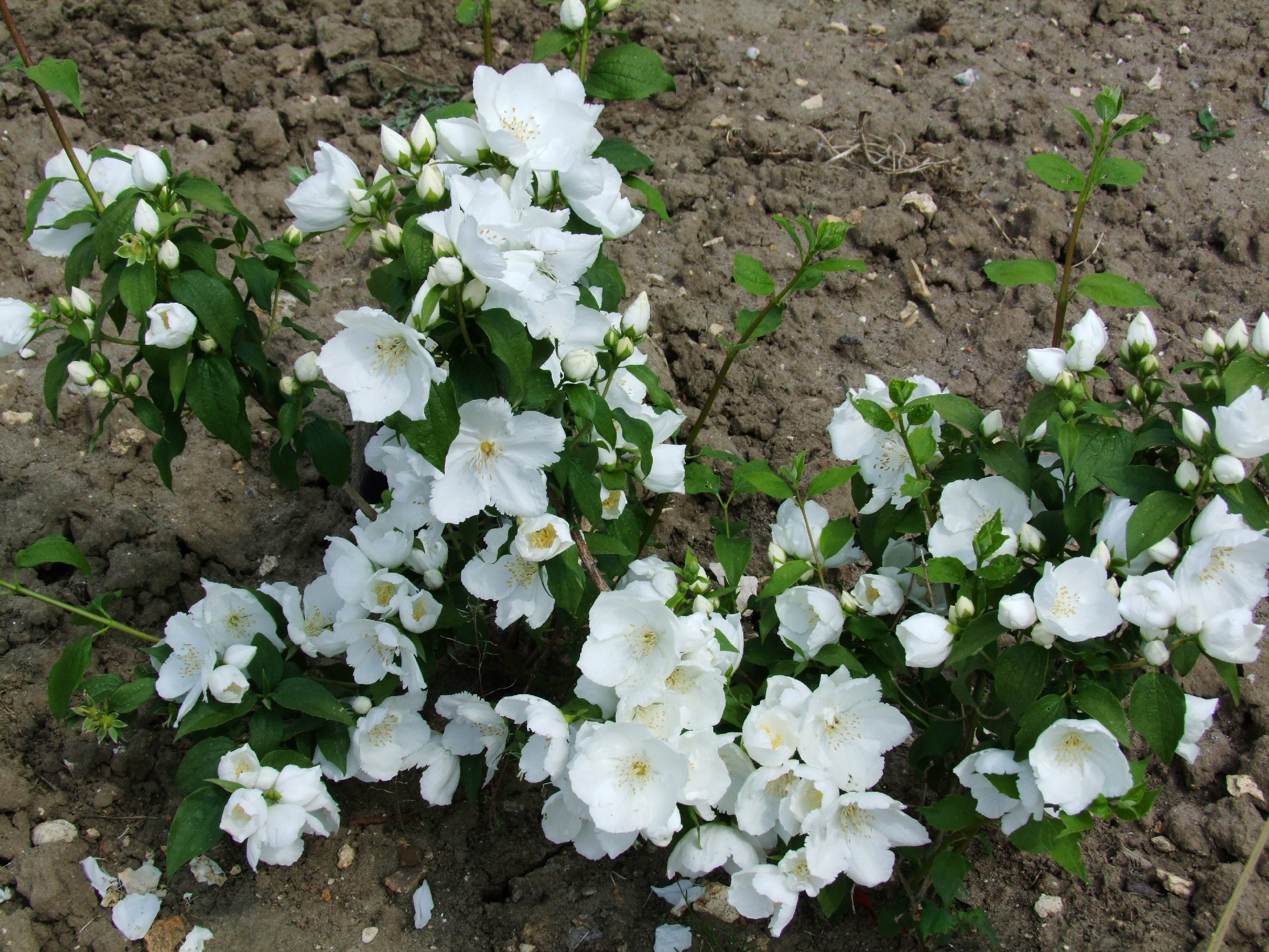 Philadelphus Favorite2.JPG