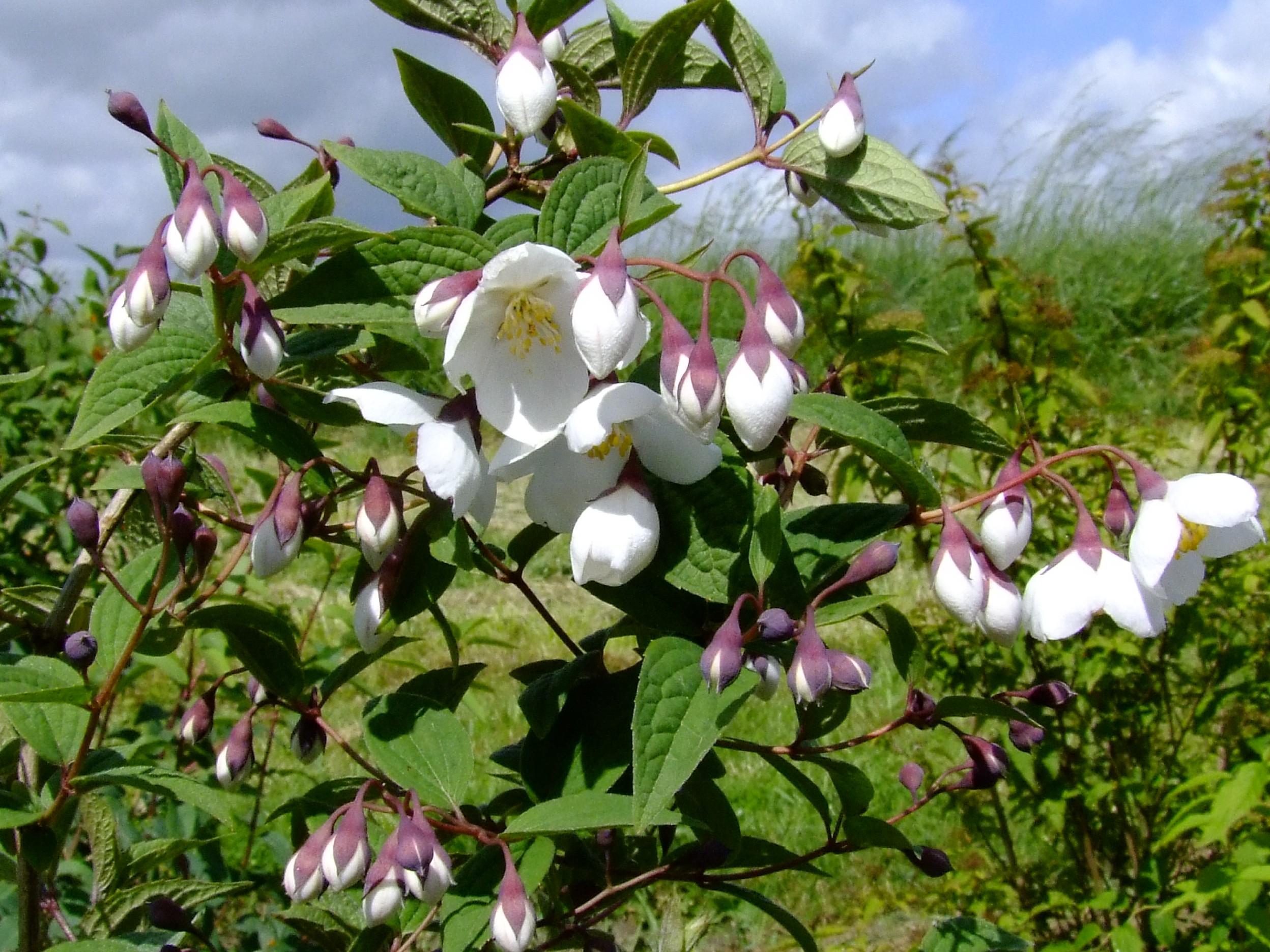 philadelphus purpurascens.jpg