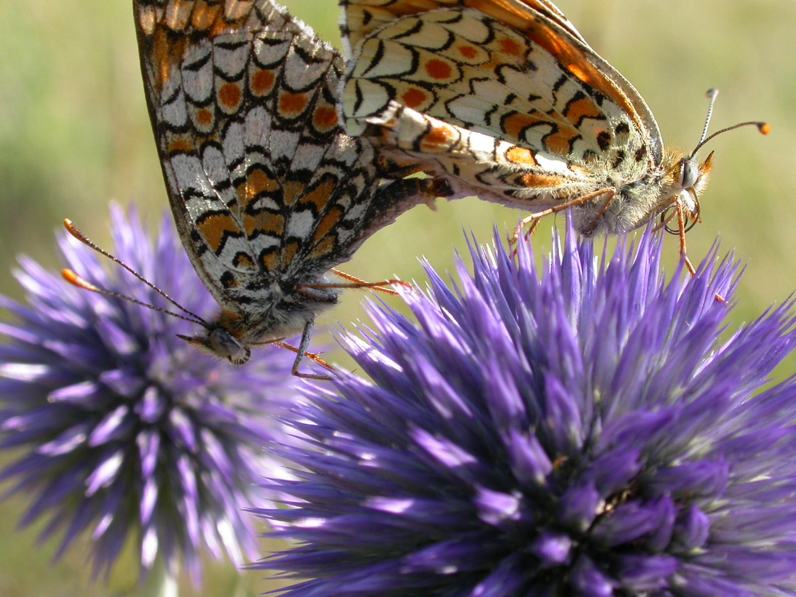 Echinops + papillon.JPG